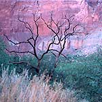 Dead Tree and Red Cliff, Grand Canyon